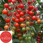 Bio Tomate À Cerise graines 'Bartelly F1'